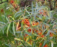 Hippophae rhamnoides 'Siipyy', Havtorn. Österbottnisk honklon.  Vackra bär.   Riklig skörd.  FinE-sort.  Höjd:2,5-3 m.  Plantera också hanplanta för pollination.  Zon V.