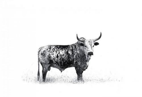 A black and white image of a Nguni Bull would look good on my wall. Best I head to the Highveld!