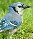 Search for a bird by entering name, description, and keywords, All About Birds, Cornell Lab of Ornithology