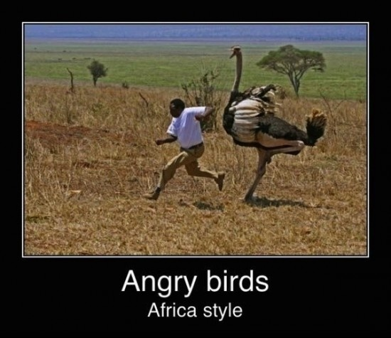 Angry birds : Africa style