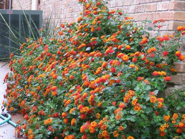 Lantana urticoides | Texas Lantana | Full sun | 2-6' tall, 2-6' spread | A very hardy Texas native perennial. Profuse orange-yellow flowers. Xeriscape plant.