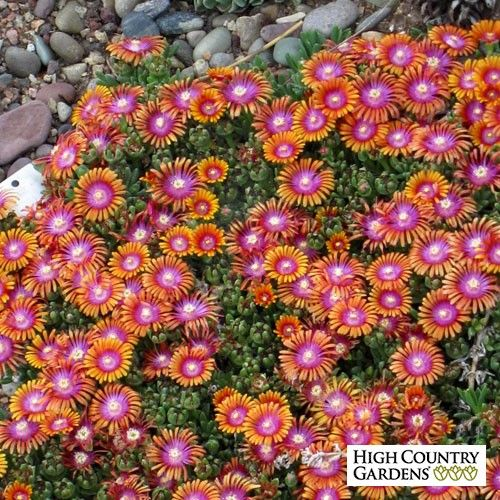 Delosperma Fire Spinner® has vibrant tri-colored flowers of orange,red and lavender that are unique in the world of perennial flowers. Outstandingly colorful. An evergreen groundcover, this ice plant blooms in late spring. A 2011 Plant Select winner.