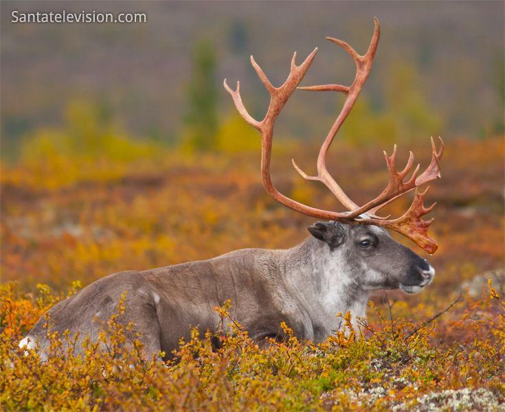 Rentier aus Lappland in indischen Sommerfarben