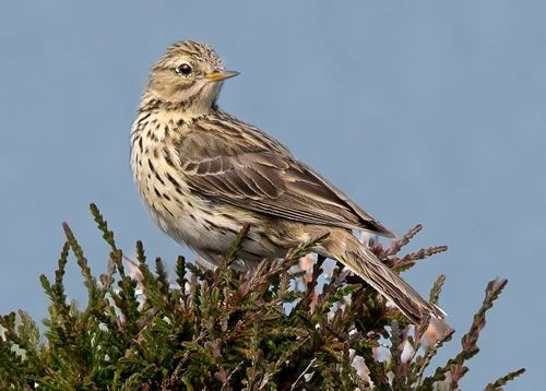 Image result for meadow pipit