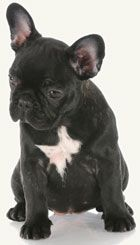French Bull Dog? You bet. Yep, I'd cuddle that.