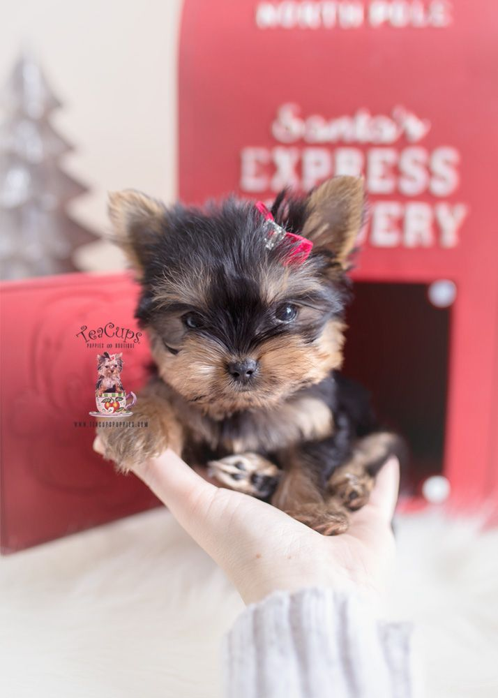 Christmas Yorkie Puppy For Sale Teacup Puppies 405 A Yorkie