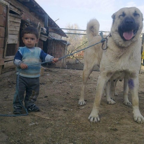Turkish sheppard dog.. Kangal