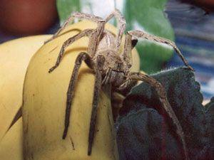 L'étrange venin de l'araignée banane