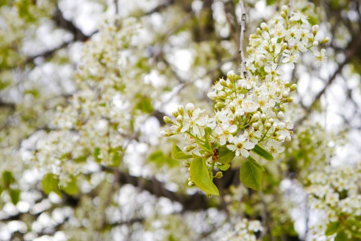 Spring Nature Flowers Tree White Blossom Autumn in Berlin Blog