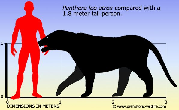 Panthera leo atrox/Panthera atrox (a.k.a. American lion, Naegele's giant jaguar & American cave lion)
