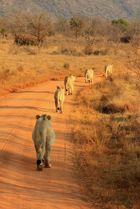 explore-the-earth:    Entabeni Game Reserve, South Africa