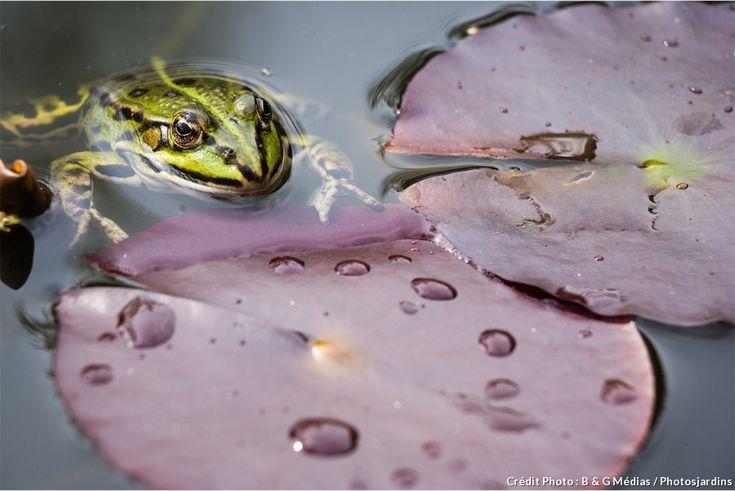 74 best bassin et plantes aquatiques images on pinterest for Decoration jardin grenouille