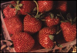 Bare Root Strawberry Plants | Blueberry Plants for Sale | Indiana Berry