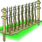 Four-wire hedgerow trellis for raspberries.  These are going into our backyard garden this Spring - in raised beds.