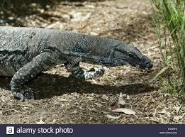 Image result for goanna australia