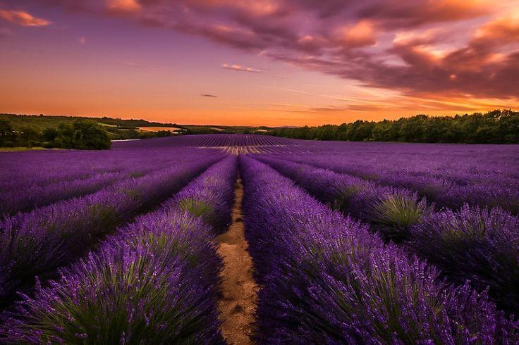 Влюбленные в Прованс. Лавандовые поля (Прованс-Альпы-Лазурный берег, Франция)
