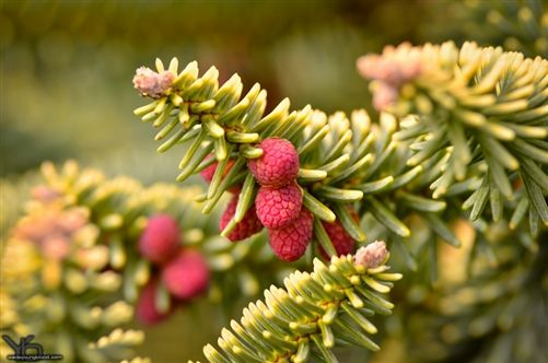 Abies pinsapo 'Aurea,' commonly known as The Golden Spanish fir