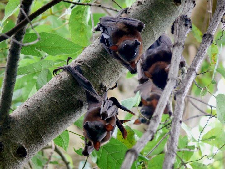 Yummy yummy fruit, yummy yummy fruit... dreams the flying fox.