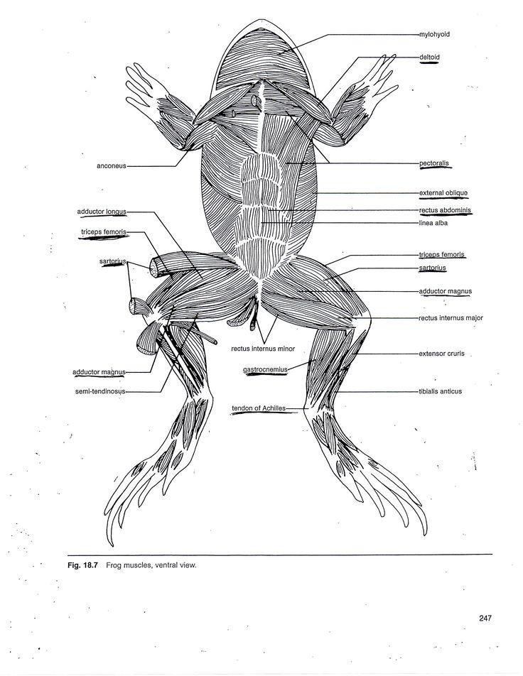 Muscle Anatomy Muscle Diagram Anatomy