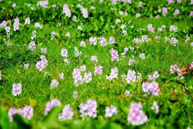 Paling Bagus 23 Sketsa Gambar Bunga Eceng Gondok Evolusi