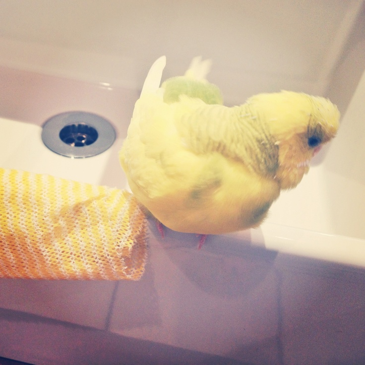 Puffy budgie playing on the sink. She's missing her sister just as much as her mommy.