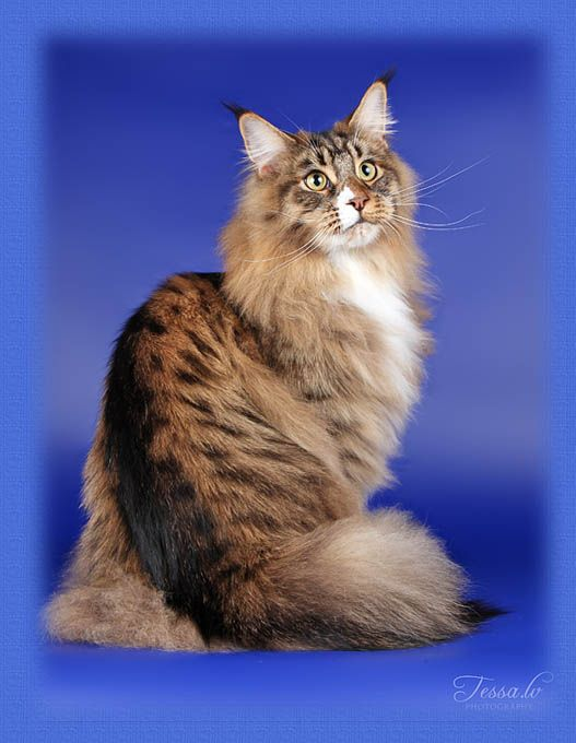 Maine Coon, black tabby spotted & white (n 09 24) Chamberlain Just Rock