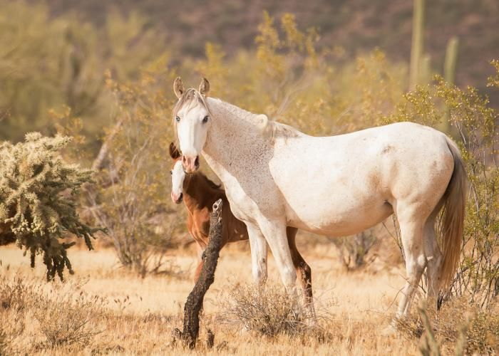 The American Wild Horses Preservation Campaign seeks to protect America's wild horses and burros by stopping the federal government's systematic elimination of these national icons from our public lands.