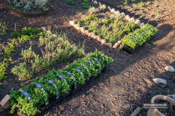 Buksbom planter til et af de kommende projekter i blomsterhaven