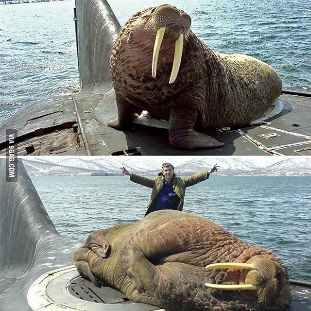 SUB ~ This walrus fell asleep on a Russian submarine ~ BFD