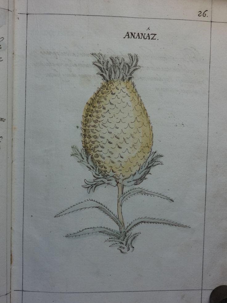 """DSC01308 - Manuel Godinho de Herédia (1563-1623)- """"Summa de arvores e plantas da India intra Gangez"""". 1612. Manuscrito, original autógrafo. Arquivos da Abadia de Tongerlo - Cota: AAT-V 133"""