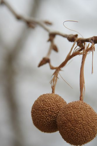 Sycamore Pods by asazeke670, via Flickr