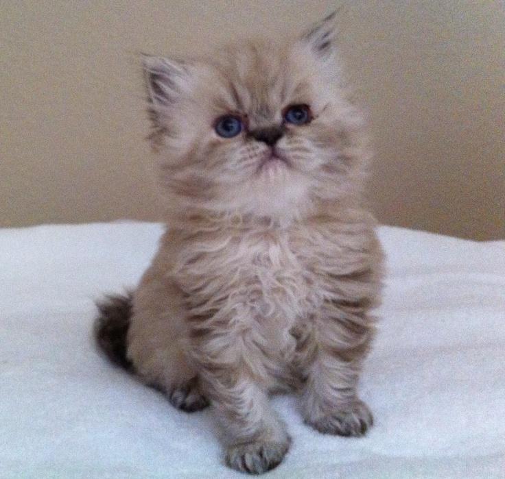 Cute Himalayan Kittens Cats, Cat furry, Fluffy kittens