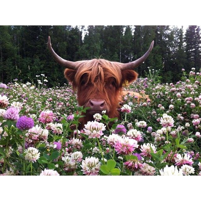 Oh my good grief!! This is like the cutest freeking cow... I want this one.