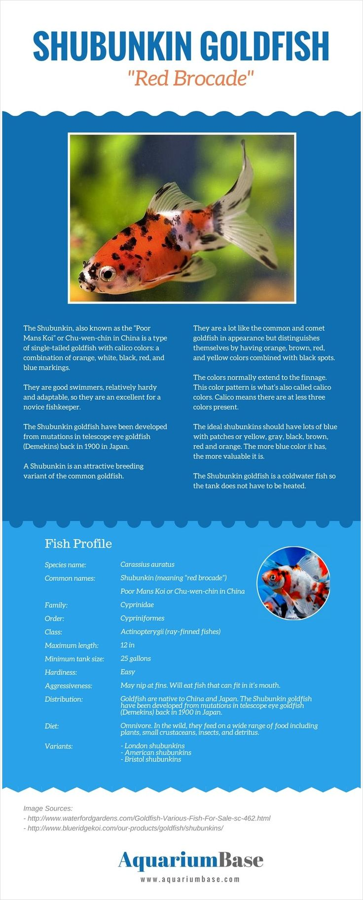 Shubunkin Goldfish Infographic