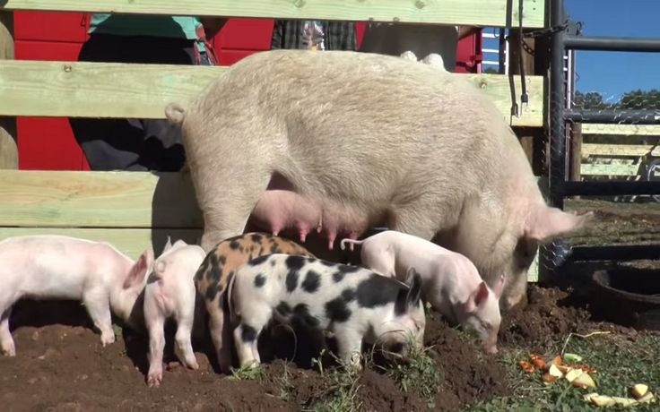 Rescued From a Horrific Backyard Butcher, Mama Pig and Her Babies Get a Second Chance at Life! (VIDEO)