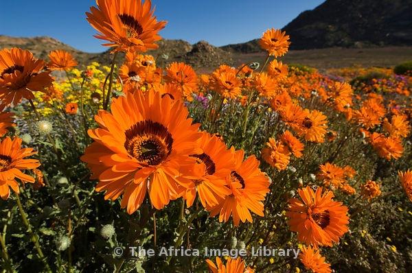 Arctotis fastuosa, Namaqualand arctotis, daisy, Spring flowers in Goegap Nature Reserve, Springbok, Namaqualand, South Africa