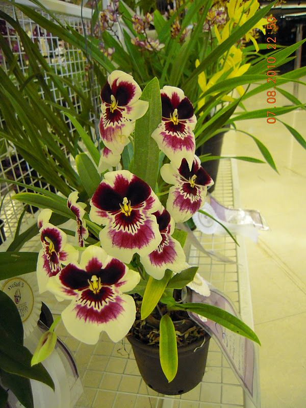 Pansy Orchids for Sale   ... actually a miltoniopsis orchid it is also called the pansy orchid and