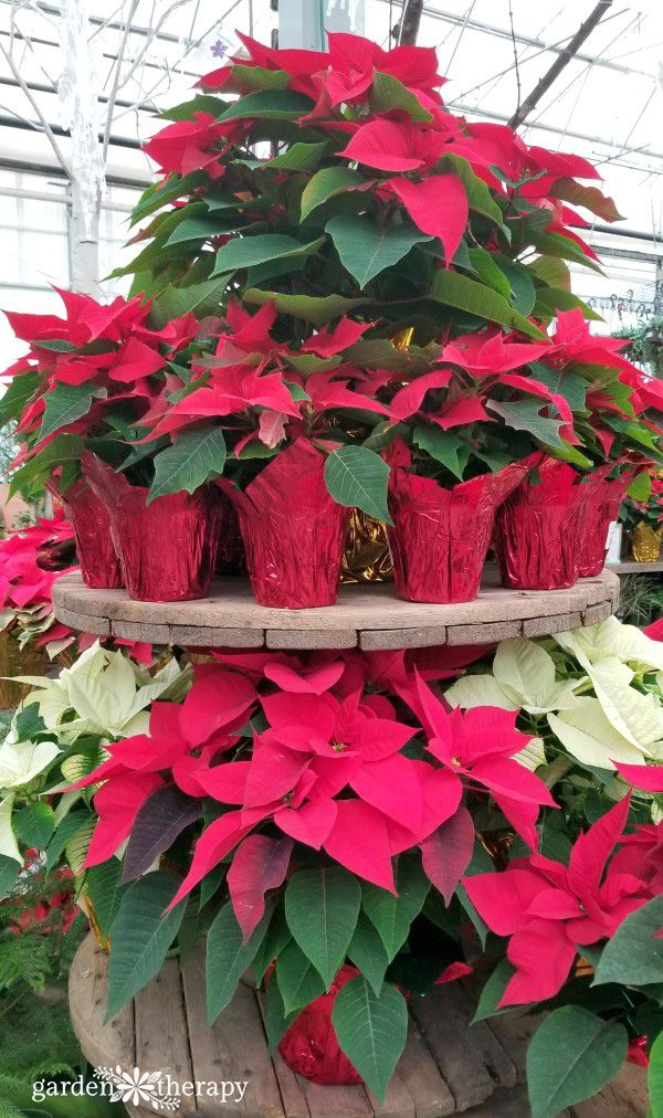 Get To Know Your Poinsettias History Growing And Styling Garden Therapy Poinsettia Planting Flowers Orchids