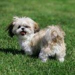 En este listado encontraras información de las diferentes razas de perros y obtendrás un pequeño resumen de sus características básicas. Razas de perros por orden alfabético (G-Z):. Galgo escocés....