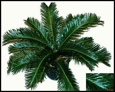 A variegated cycad