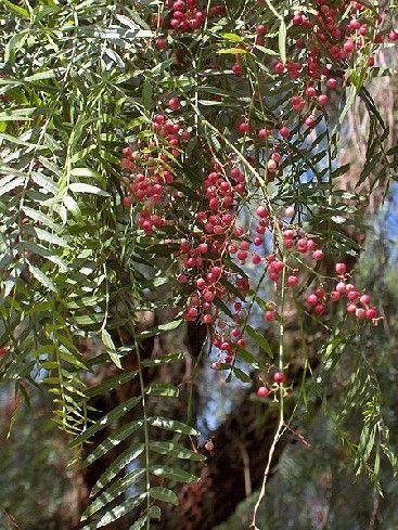 Le faux poivrier : un arbre facile à vivre