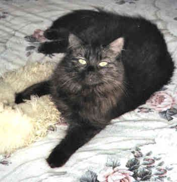 Chantilly Cat | Chantilly Tiffany Cat Breed Pictures | I've had two