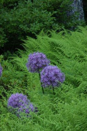 Soft-textured hay-scented ferns (Dennstaedtia punctilobula,