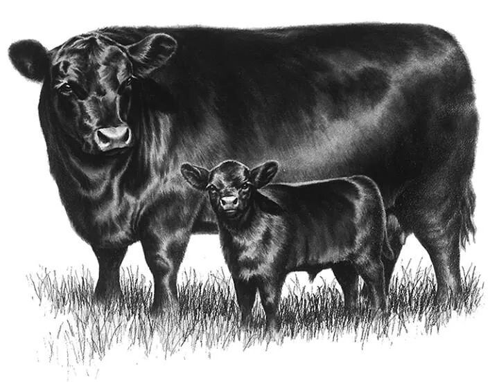 The original ideal Angus cow & calf now known as a Lowline Angus.