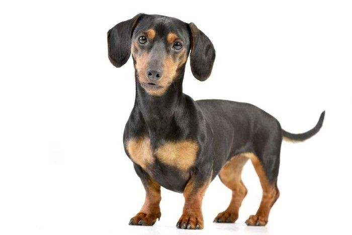Dachshund In White Background Low Maintenance Dog Breeds Dogs