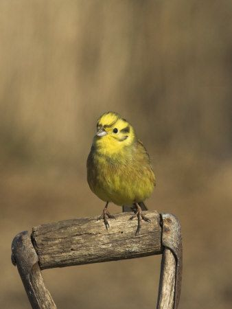 17 Best Images About Alabama State Bird On Pinterest