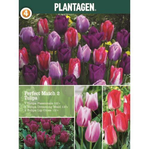 Løk høst Tulipa
