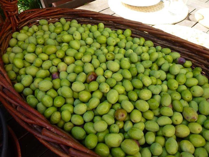 C'est la saison ! Il est temps de cueillir les olives vertes qui sont bien gonflées à présent, suite aux dernières pluies, et qui risquent de commencer à virer (donc à devenir noires) sous les derniers rayons de soleil. L'idéal est de les ramasser durant...