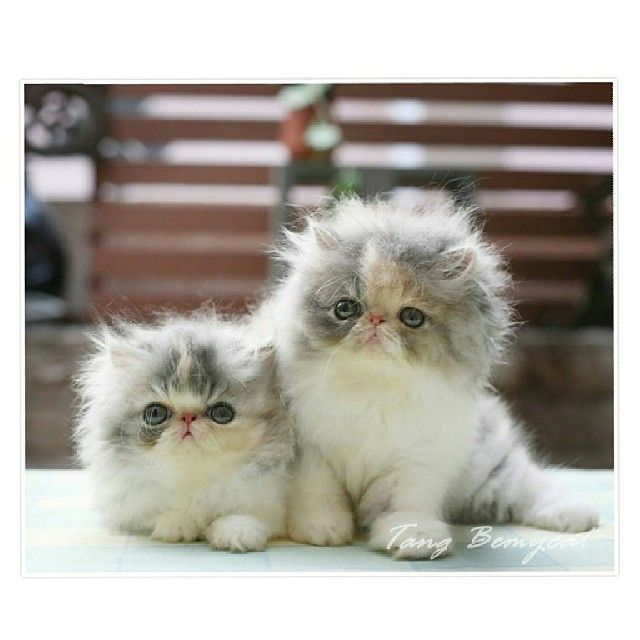 "Persian kittens ""Hello friends!"" http://instagram.com/p/ygKPwMRbas/"