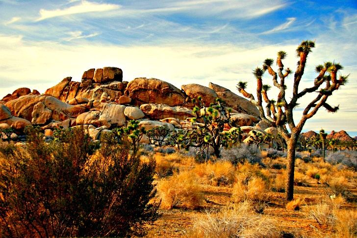 The Joshua Tree is just one of hundreds of plants native to this national park. © Rex Vogel, all rights reserved